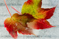 Frozen Autumn leaves Stock Photos