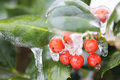 Frozen berries during freezing rain Stock Images