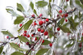 Frozen berries during freezing rain Stock Photo