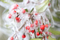 Frozen berries in freezing rain Stock Photos