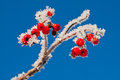 Frozen berries on winter season closeup Royalty Free Stock Images