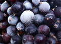 Frozen blackenning currant Royalty Free Stock Images