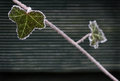 Frozen branch on the wooden fence Stock Photo