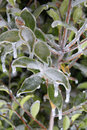 Frozen branches and leaves encased in ice flower bud Stock Photo