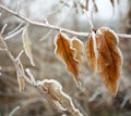 Frozen brown autumn leaves covered with frost closeup Royalty Free Stock Photo
