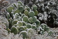 Frozen Cactus 2 Royalty Free Stock Photo