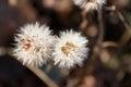 Frozen dandelion, autumn Royalty Free Stock Photo