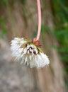 Frozen dandelion flower Royalty Free Stock Photo