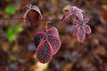 Frozen Deep Red Blackberry Leaves Royalty Free Stock Photo