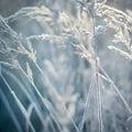 Frozen Ears, Plants. Nature In...