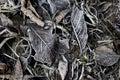 Frozen Fallen Dead Autumn Leav...