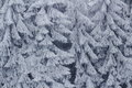 Frozen fir trees rime ice winter season nature background Royalty Free Stock Photo