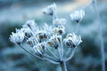 Frozen flower in the early morning light Royalty Free Stock Photography