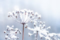 Frozen flower twig in beautiful winter snowfall background the Royalty Free Stock Photo