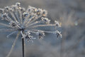 Frozen flowers angelica glint in the sunshine in winter Royalty Free Stock Photography
