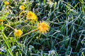 Frozen Flowers of a Dandelion in the Morning Frost Royalty Free Stock Photo