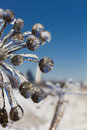 Frozen flowers in winter close up photo of fantastic shapes of withered covered with ice Stock Image