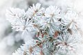 Frozen fur tree branch on white background Stock Photography