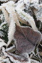 Frozen grasses with leaf winter scene ice covered and contrasting Royalty Free Stock Photos