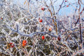 Frozen hips beautiful winter picture Stock Images
