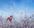 Frozen hips in detail beautiful winter picture Stock Photo