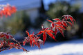Frozen japanese maple leaves closeup of red with winter snow in background Stock Photos