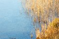Frozen lake with reeds on shore Royalty Free Stock Photo