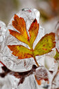 Frozen leaf in autumn after ice rain Stock Images