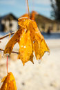 Frozen leaves. Royalty Free Stock Photo