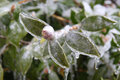 Frozen leaves and flower buds encased in ice branches Royalty Free Stock Photography