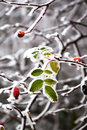 Frozen leaves green and red berries Stock Images