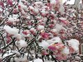 Frozen Magnolia Blossoms in Spring in March Royalty Free Stock Photo