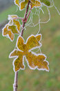 Frozen maple leaf Stock Images
