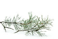 Frozen pine branch close up of on snow over white background horizontal Royalty Free Stock Photography