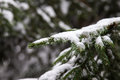 Frozen pine tree Royalty Free Stock Photo
