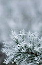 Frozen pine tree branch winter icy weather cold crystal detail silver color tones background Stock Photography