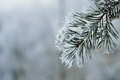 Frozen pine tree branch winter icy weather cold crystal detail silver color tones background Stock Image