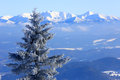 Frozen pine tree on mountain background
