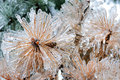Frozen pine tree in winter Stock Photo