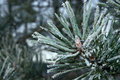 Frozen pines Royalty Free Stock Image