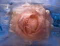 Frozen   pink   rose flower Royalty Free Stock Photo