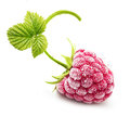 Frozen raspberry branch isolated on white background Royalty Free Stock Photo