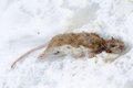 Frozen rat Stock Photo