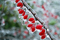 Frozen Red Berry Bush Royalty Free Stock Photo