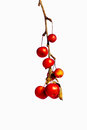Frozen red crabapples dangle on a dry twig isolated against white background Stock Image