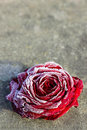 Frozen red rose on stone background Royalty Free Stock Photography