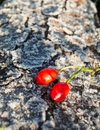 Frozen rose hip on frozen bark Royalty Free Stock Photo
