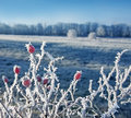 Frozen rose hips in winter Royalty Free Stock Image