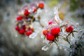 Frozen rosehips entirely covered with ice and their red beautiful colour waiting springtime to revive Stock Photo