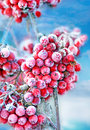 Frozen rowan berries red on blue sky Stock Photography